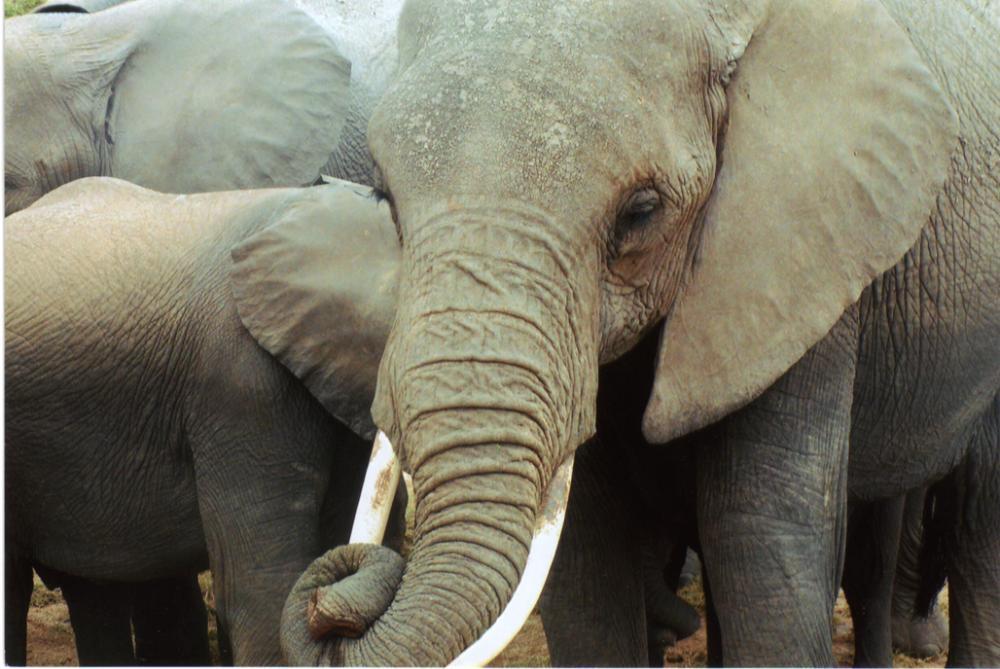 SFS elephants